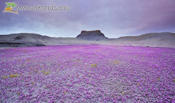Nem mindennapi látvány: virágzó sivatag