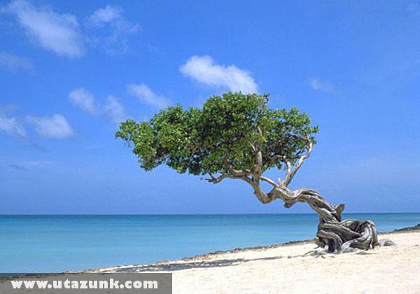 Magányos fa Aruba szigetén
