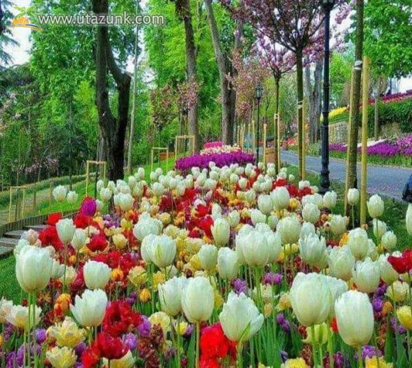 Tulipános kert