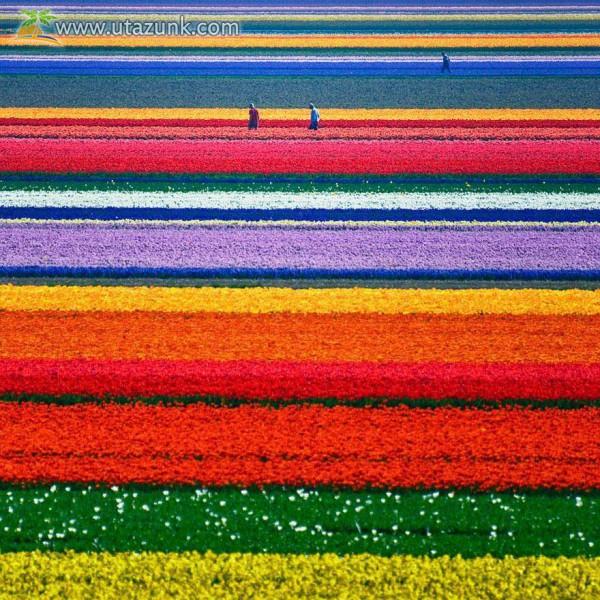 Tulipán ültetvény Hollandiában