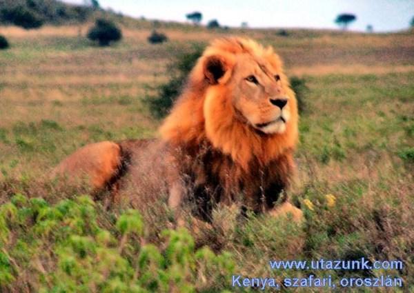 Kenyai szafari, oroszlán